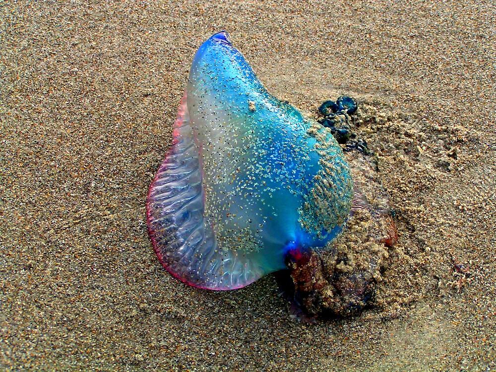 Man of War Jellyfish by Garrett Hanson