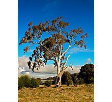 Gum Tree Photographic Print