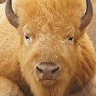 White Buffalo by WesternArt