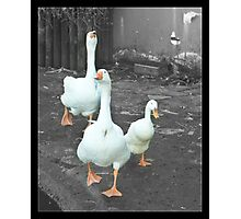 2 Geese 1 Duck Photographic Print