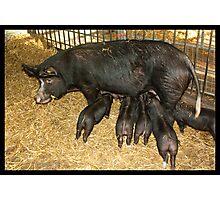 Suckling Piglets Photographic Print