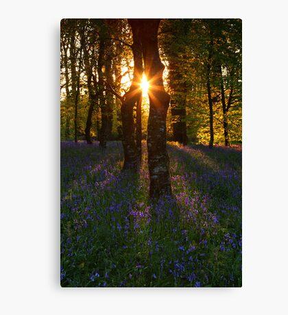Bluebells at Sunset Canvas Print