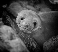 Seal Pup by Paul Moore