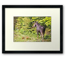Bull Moose in Maine Framed Print
