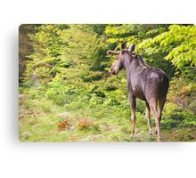 Bull Moose in Maine Canvas Print