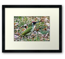 Green Woodpecker Framed Print