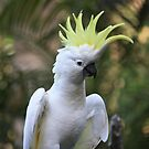 Sulphur-crested Cockatoo by aussiebushstick