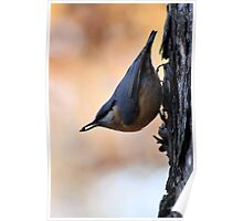Nuthatch Sitta europaea Poster