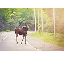 Yearling Moose Photographic Print