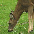 """120211-6   """"O-O-O-O-O..GRASS WITH A SIDE OF DEAD LEAVES ! Y-U-U-U-M-M-M !!!"""" by MICKSPIXPHOTOS"""