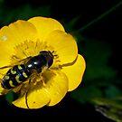 howerfly by Vasil Popov