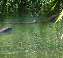 Otters in the tropical zone - Nutrias en la zona tropical by Bernhard Matejka