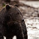 Grizzly Bear - Bella Coola - Sep 2011 by Sue Ratcliffe