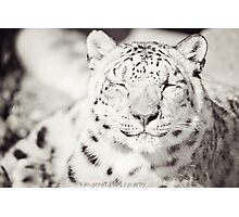 Black and White Snow Leopard Photographic Print