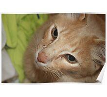 Playful Cat  Poster