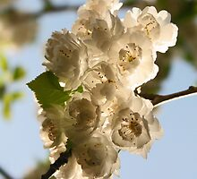Spring blossoms by Jeanne Horak-Druiff