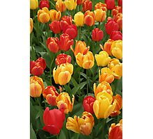 Keukenhof Tulips Photographic Print