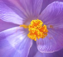 Crocus by Jeanne Horak-Druiff
