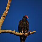 Vulture in Tree by joevoz