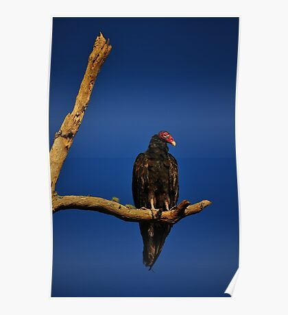Vulture in Tree Poster