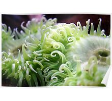 Green Anemone Poster