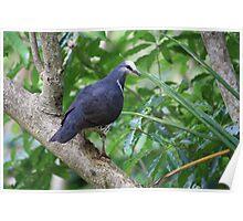 Wonga Pigeon Poster