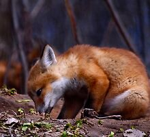 Curious Kit Fox by Thomas Young