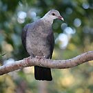 Shy Young White-headed Pigeon by aussiebushstick