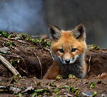 Kit Fox by Thomas Young