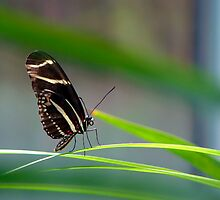 Zebra Longwing Butterfly by Sam Warner