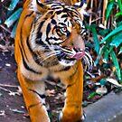 Tiger Pacing by Robin Black