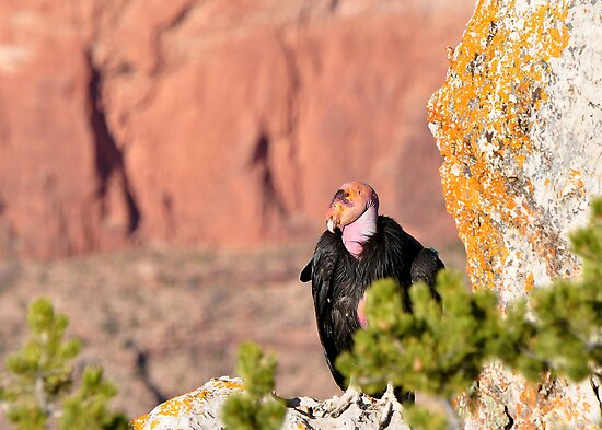 Grand Canyon California Condor by levipie