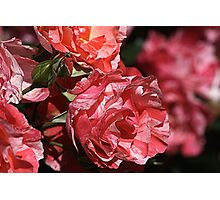 Rose Delight Photographic Print