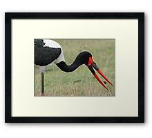 Saddle bill stork with its catch Framed Print