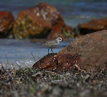 Red-necked Stint (Calidris ruficollis) - Point Gibbon, South Australia by Dan & Emma Monceaux