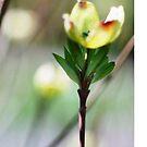 Dogwood Bloom by Robin Lee
