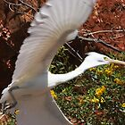 Eastern Reef Egret (White Morph) by Robert Elliott