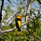 Western Tanager by levipie