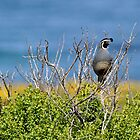 California Quail by levipie