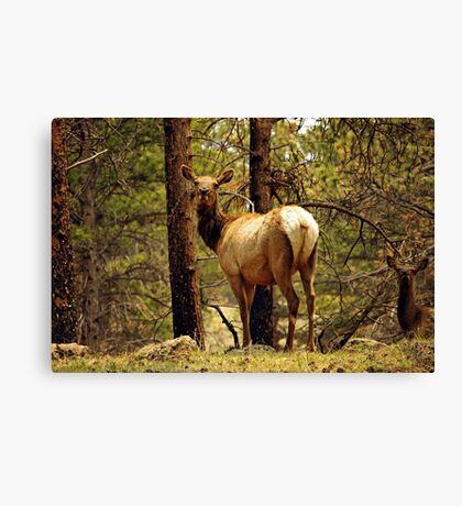 Elk in the Mountains Canvas Print