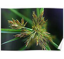 Cyperus polystachyos Poster