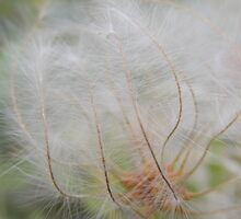 'OOOH' I HAD SUCH A SHOCK!'  wind in Mistletoe seeds. by Rita Blom