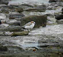 Red-capped Plover (Charadrius ruficapillus) - Point Lowly, South Australia by Dan & Emma Monceaux