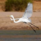 Great Egret (Ardea alba), Eyre Creek, Simpson Desert, Queensland by Blue Gum Pictures