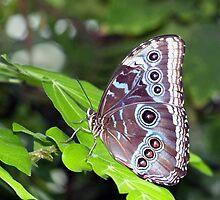 Owl Butterfly by vette