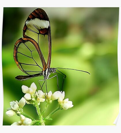 Glasswing Butterfly Visit Poster