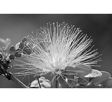 Calliandra Flower Photographic Print
