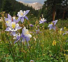 Colorado Columbine by Eivor Kuchta