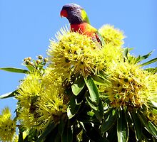 Rainbow Lorikeet on Golden Penda by Margaret  Hyde