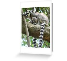 Ringtail Lemurs Grooming in Madagascar Greeting Card